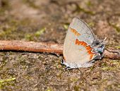 Tiny Red-banded Hairstreak butterfly, Calycopis cecrops
