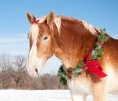 Belgian draft horse with a Christmas wreath and a bow in his mane against snowy winter background