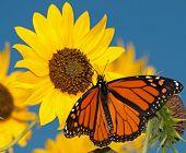 Monarch butterfly feeding on a sunflower against clear blue sky