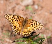 Variegated Fritillary, Euptoieta claudia butterfly, feeding on a small wild flower