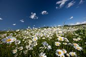 Hayfield with daysies, beautiful nature of Latvia