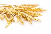 Sheaf Of Ripe Ears Of Wheat Isolated On White Background poster