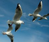 Close-up of seagulls, flying over blue sky