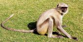A golden monkey with long tail and black face  sitting and posing  , India