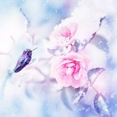 Little Fantastic Blue And Purple Bird In The Snow And Frost On The Background Of Beautiful Pink Rose poster