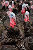 Free-range Turkeys