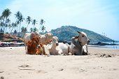 Vaca na Praia Tropical bonito, Goa, Índia