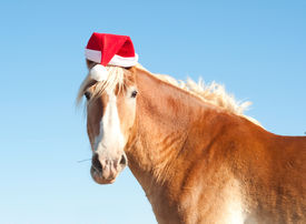 stock photo of horse wearing santa hat  - Funny image of a Belgian Draft horse wearing a santa hat - JPG