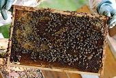 picture of bee keeping  - A beekeeper at work and bees at work - JPG