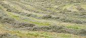 Rows of freshly mown hay