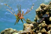 Lionfish (pterois Volitans) On Coral Reef In The Red Sea, Egypt