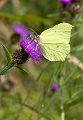 Brimstone Butterfly On Knapweed