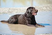 Young Chocolate Labrador Retriever Lying In Puddle