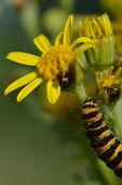 innabar caterpillar on ragwort