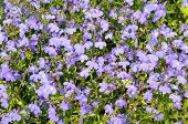 image of lobelia  - Many blue flowers as a background  - JPG