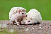 stock photo of albinos  - two adorable small pet hedgehogs outdoors in summer - JPG