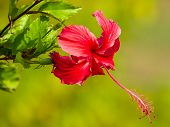 Red flower, Hibiscus rosa sinensis close-up