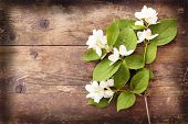 Blooming Jasmine Wicker, Wood Background.