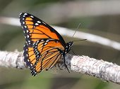 Viceroy Butterfly in Eastern Washington