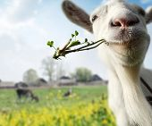 Funny goat grazing on a spring meadow