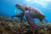 stock photo of biodiversity  - Young lady snorkeling and diving on a breath hold by a big turtle - JPG