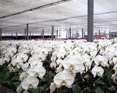 Large Orchid Plantation