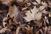Dry Maple Leaves Lying On The Ground.