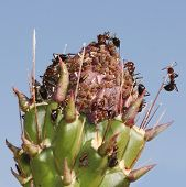 Ants Tend Aphids On A Cholla Bud