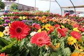 Wunderschöne Rüsche Gerbera daisies