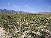 foto of anza  - Wildflowers bloom in the Anza Borrego desert - JPG