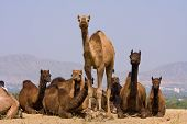 Camel At The Pushkar Fair , India
