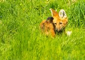 Maned wolf in a green grass