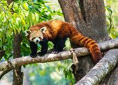 Red panda in nature