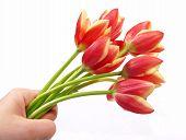 Tulips In Hand