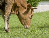 stock photo of feedlot  - sunny rural scenery including a grazing brown cow portrait - JPG