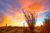stock photo of ocotillo  - Flaming Ocotillo with burning sky at sunset - JPG