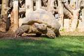 pic of centenarian  - Turtle moves on green grass in a zoo - JPG