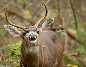 picture of blacktail  - Blacktail buck sniffing the air and looking for a doe - JPG