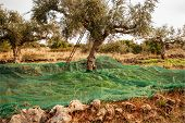 Olive Trees During Harvesting