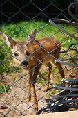 Young deer in captivity