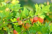 Gooseberries In The Garden