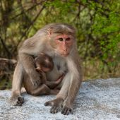 Bonnet Macaque and Young