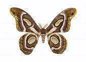 Butterfly Epiphora Mythimnia