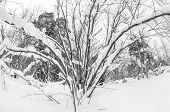 picture of backwoods  - Snow covered trees in the backwoods - JPG