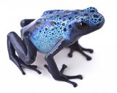 pic of rainforest animal  - Blue poison dart frog - JPG