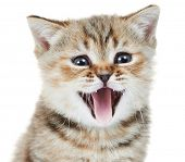Head of happy british shorthair kitten cat wiht open mouth isolated