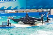 MIAMI,US - DECEMBER 8, 2013:The show of Lolita,the killer whale at the Miami Seaquarium.Founded in 1