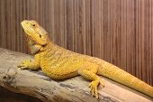 stock photo of terrarium  - Bearded Dragon lying on a dry wooden branch in a terrarium - JPG
