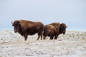 Two buffalo in a hilly pasture
