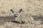 Bat-eared fox with young